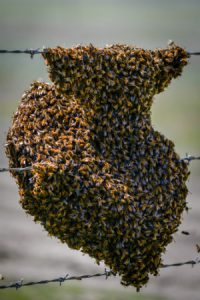 The Bee Man provides bee swarm removal services