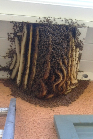 Beehive removal - The Bee Man can remove beehives like this one under a roof eave.