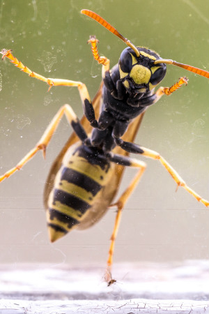 Yellow Jacket Removal - The Bee Man specializes in yellow jacket removal. Call (949) 455-0123.