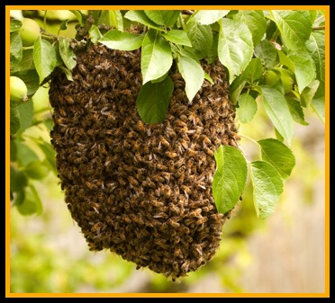 bee swarm inside