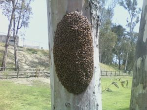 The Bee Man - Swarm of bees on a tree