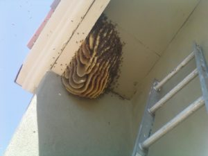 The Bee Man - Exposed bee hive