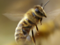 Laguna Hills Bee Removal - The Bee Man
