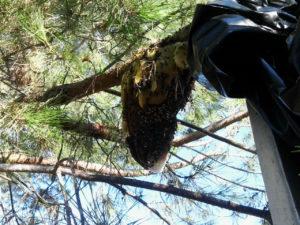 San Juan Capistrano Bee Removal - The Bee Man