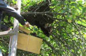 Trabuco Canyon Bee Removal - The Bee Man