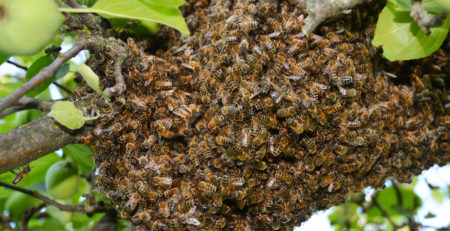 Swarm of bees close up. Swarm of bees on the tree. Swarm Catching