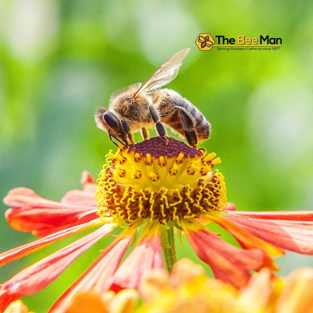 Learn-Bee-Safety-Guidelines-from-Bee-Removal-Orange-County-Experts